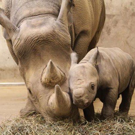 Baby-Rhino-rhinos-20108345-600-453